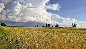 хебное поле летом, пшеница на поле