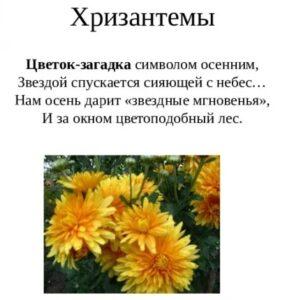 загадка хризантемы