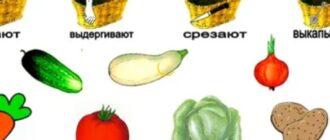 занятие овощи в средней группе